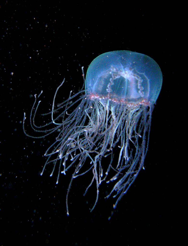 Cigar Jellyfish